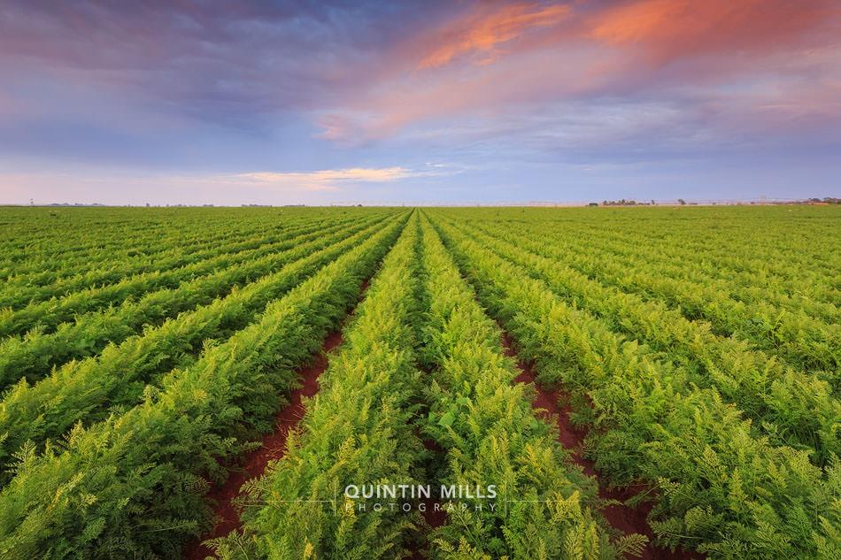 commercial photographer rugani carrots